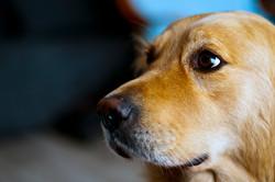 animal-dog-golden-retriever-9716