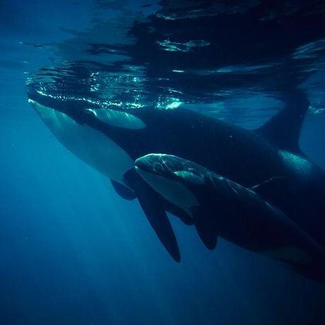 18-baby-orca.w700.h700.jpg