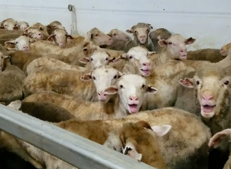 The Live Export of Animals by Sea is Marred by Animal Cruelty