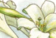 easter lilies.jpg