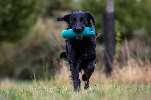 flat coated retriever, retriever, dog, black, running, dummy, training, portrait, defocuse
