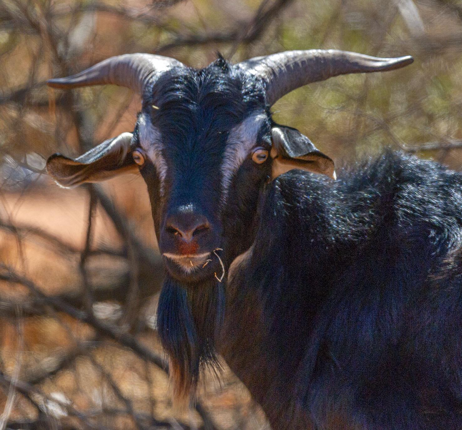 Goat _6580