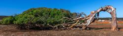Greenough tree _3969