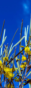 Mulga in Flower _2374.jpg