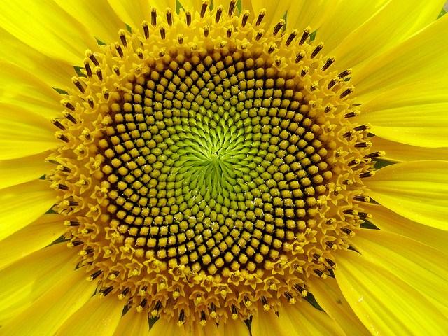 LucaPostpischi-sunflower