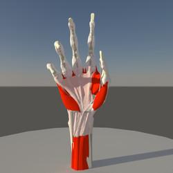 Anatomy Hand (1)