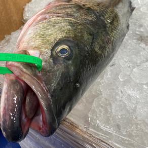 Species Highlight: Striped Bass
