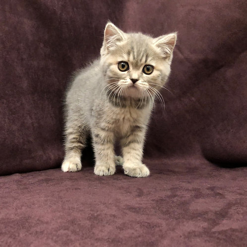 """Hima"", Scottish Straight girl, Blue & Cream Spotted Tabby (g24)"