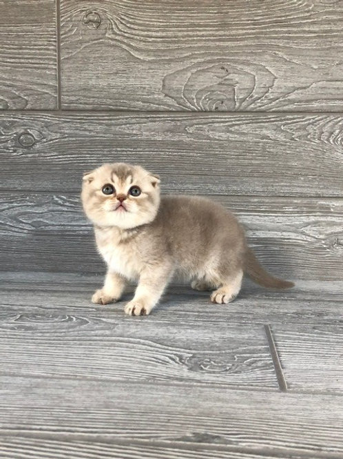 """""""Loly"""" Scottish Fold girl, Ticked Lilac Tabby (c25)"""