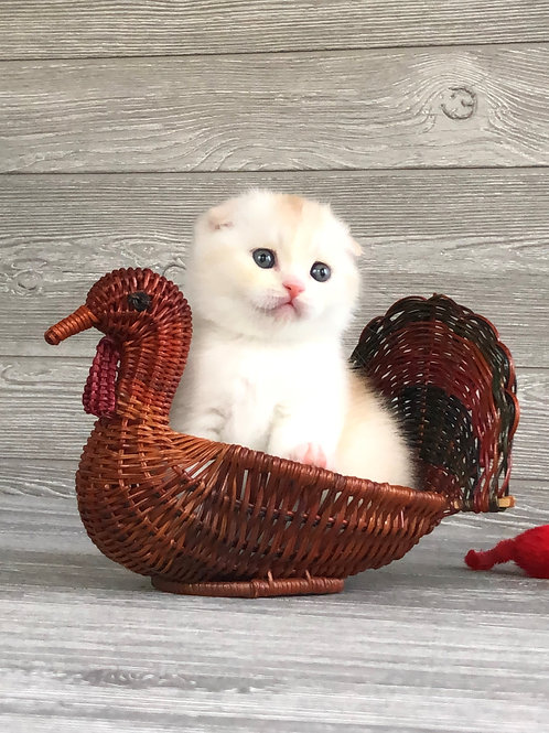 """""""Yasha"""", Scottish Fold boy, red silver ticked tabby with white (ds2503)"""