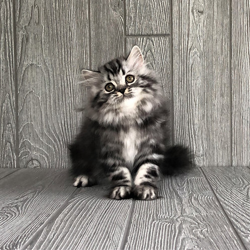 """Wolfy"" Highland Straight boy, Black Silver Classic Tabby (ns22)"