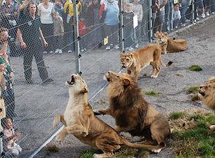 lion-feeding.jpg