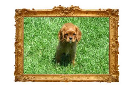 Goldie in gold frame.jpg