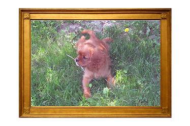 Goldie in frame three.jpg