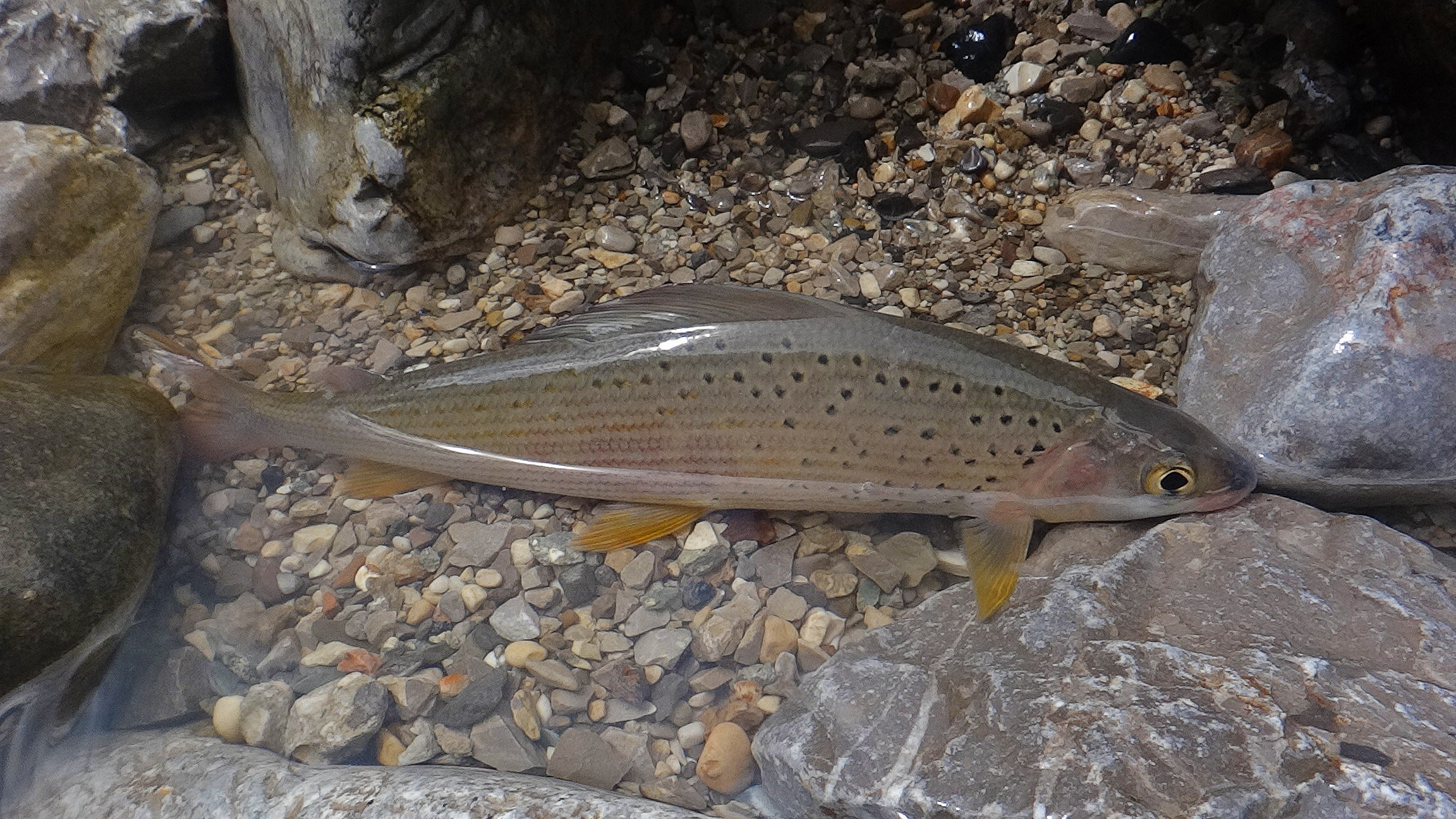 slo-fly   grayling