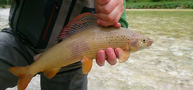 Adriatic grayling