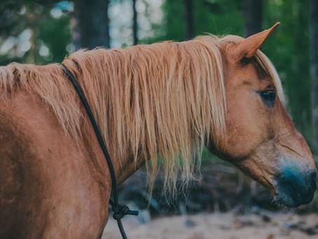 Rakkaudesta suomenhevoseen