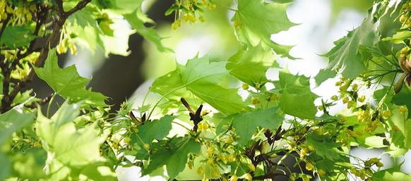 maple flowers.jpg