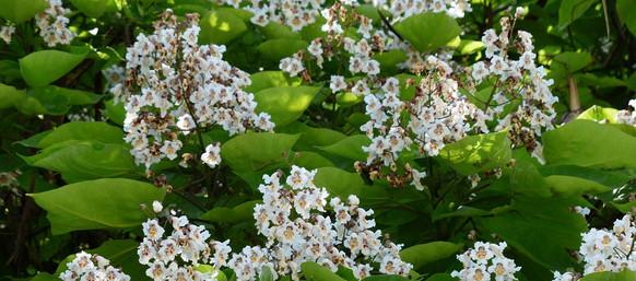 catalpa flowers.jpg