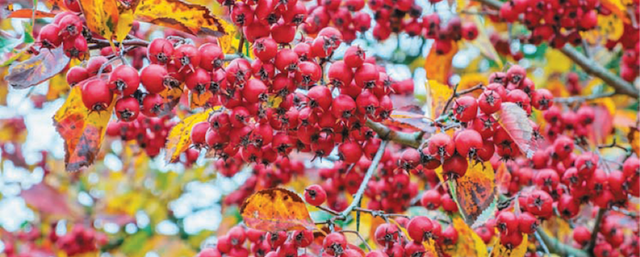 Amelanchier Berries - Autumn