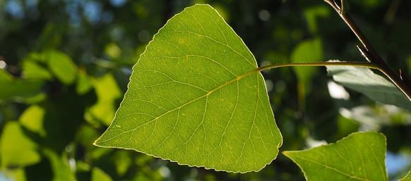 poplar leaf.jpg