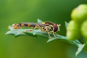 hoverfly.jpg