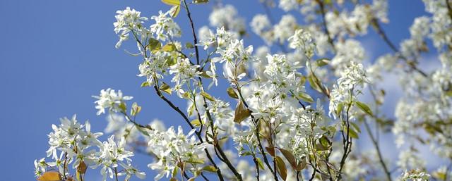 Amelanchier Canadensis - Spring