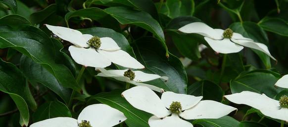 asian-dogwood-blossoms-8158_960_720.jpg