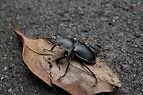 stag beetle.jpg