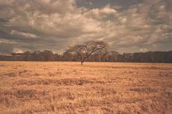 drzewo nakuru