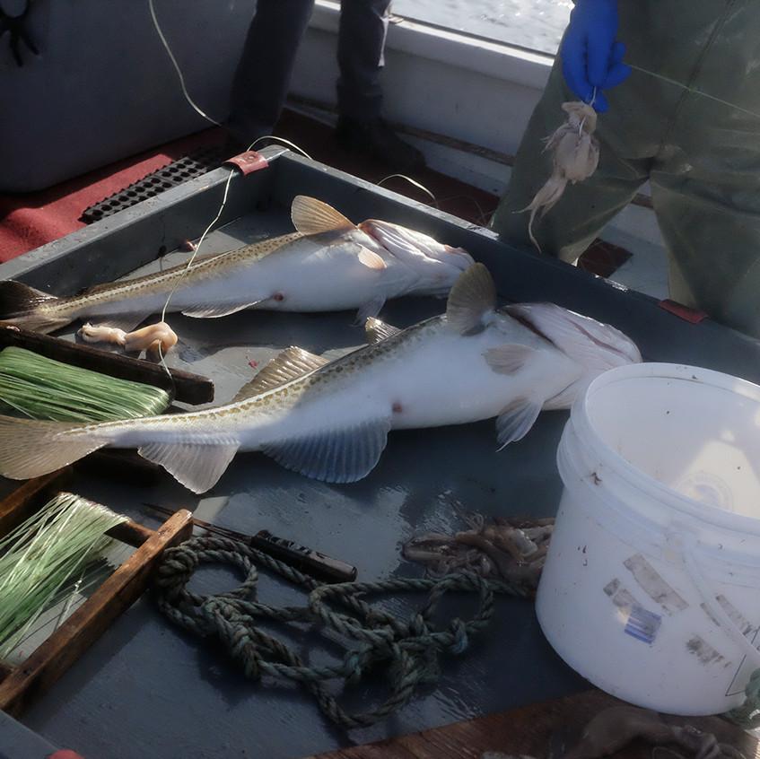 caught cod - small