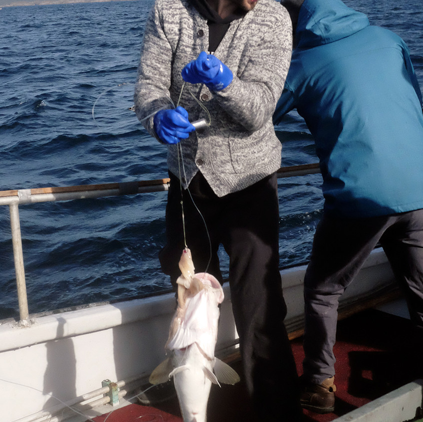 pulled cod - small