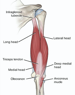 triceps tendon anatomy.png