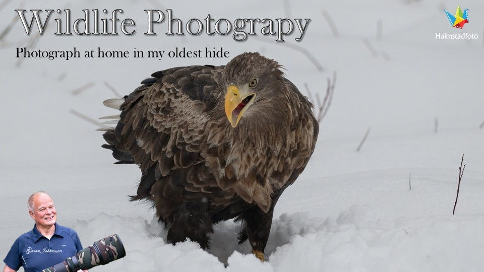Bird photography II White tailed eagle from my hide in snow