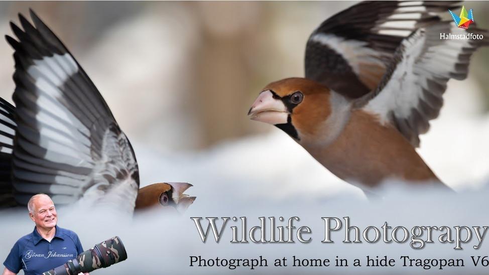 Tips and tricks  photograph small birds. II Hide Tragopan V6