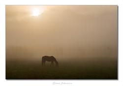Häst i morgondimma