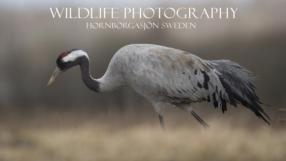 Photograph Crane in Sweden (Hornborgasjön)