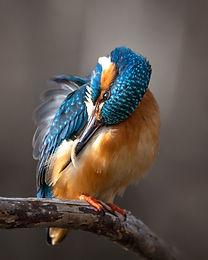 Kungsfiskare