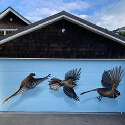Fantail in flight