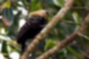 Pica-pau-de-cabeça-amarela (Celeus flavescens)