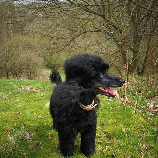Millie 🐩🐩 walkies #fun #dogsofinstagra