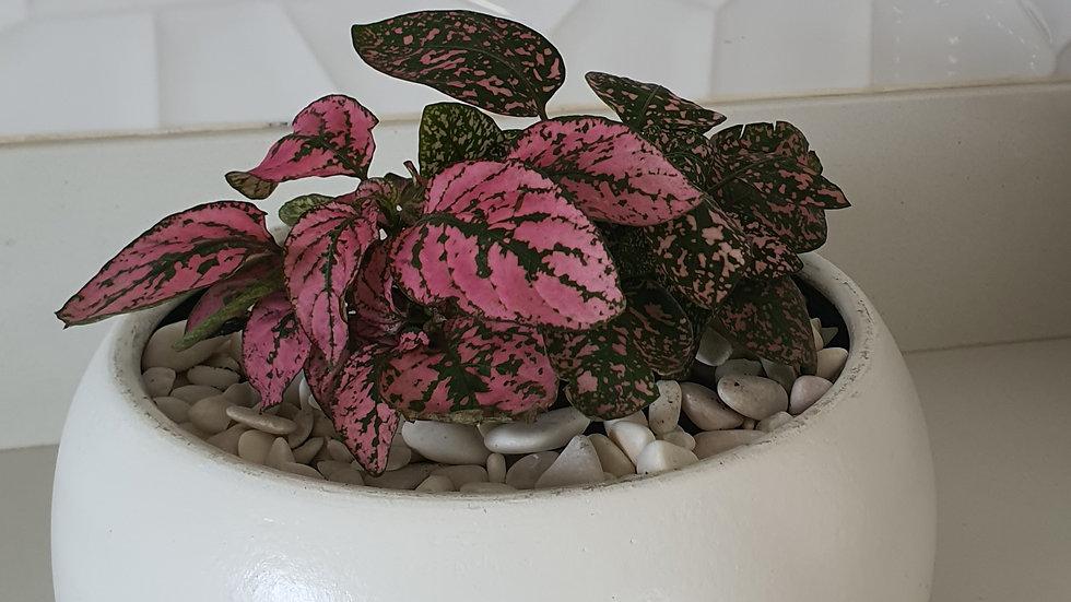 Polka dot plant