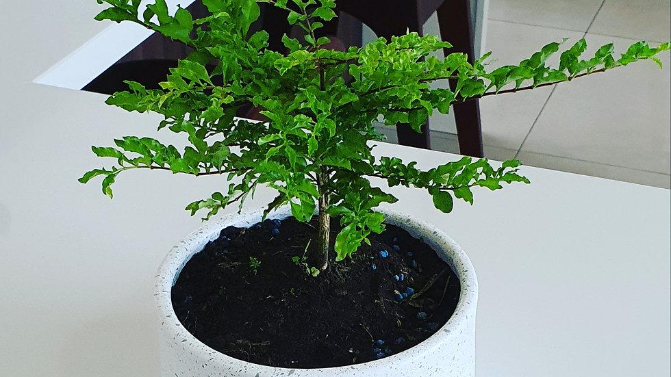 Psychotria graciliflora  mini