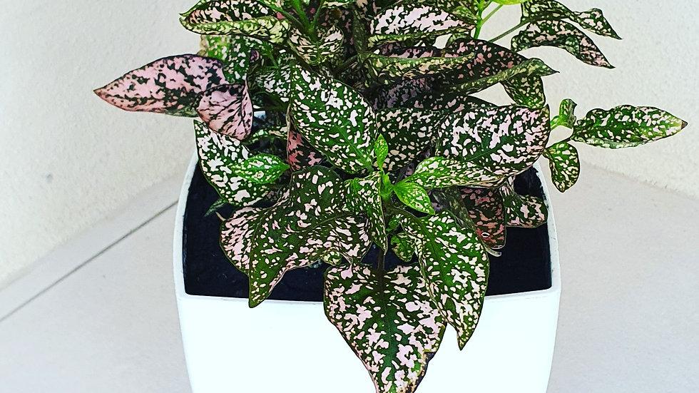 Polka dots plant