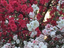 用賀、砧公園の紅白桃