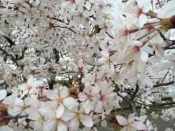 用賀、砧公園 桜