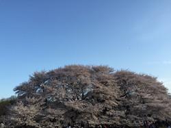 用賀、砧公園、桜