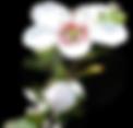 manuka-flower-alone-624x596.png