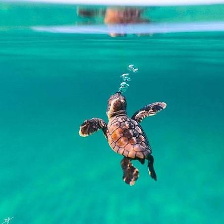 coral safe sunscreen, reef safe sunblock, organic eco-friendly sunblocks, turle, marine turtle