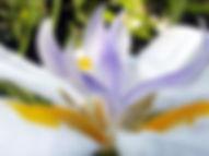iris bianco grande.jpg
